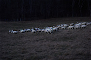 Flock of sheep just after sunset