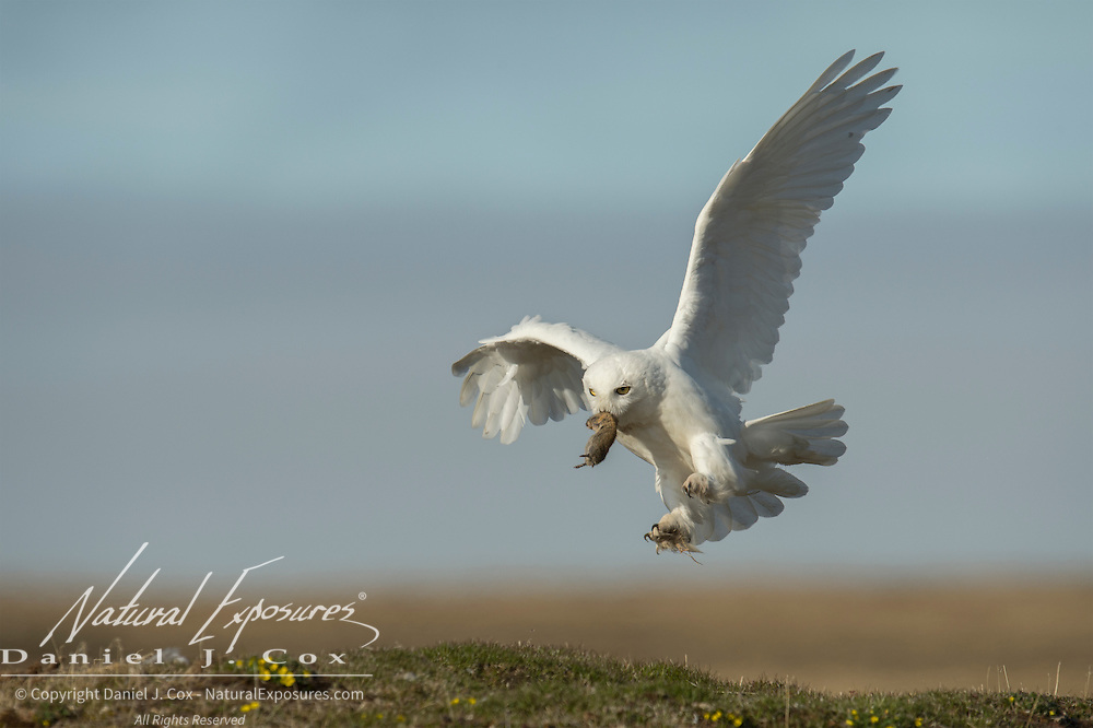 A male snowy owl (Bubo scandiacus) bringing a brown lemming to the nest site. Alaska