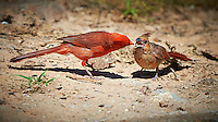 Male Northern Cardinal Feeding Breakfast to a Young Cardinal at a Private Ranch in Southern Texas. Image taken with a Nikon D4 camera and 500 mm f/4 lens (ISO 500, 500 mm, f/5.6, 1/2000 sec.