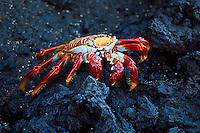 Closeup portrait of a colorful yellow and red crab on lava rocks, Galapagos. Wildlife and animal photography prints for sale. Fine art photography wall art, stock images