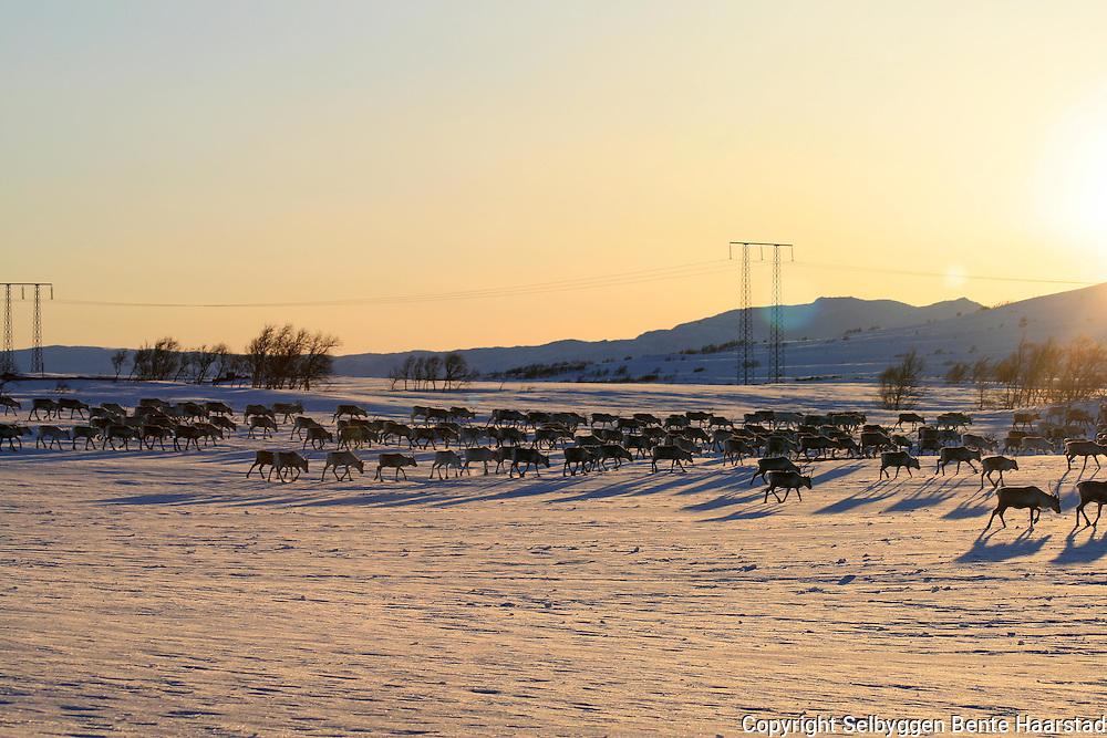 V&aring;rflytting i Essand reinbeitedistrikt. Simleflokken har passert &Oslash;yfjellet og er p&aring; veg nordover mot Skarpdalen, til kalvingsomr&aring;det og sommerbeitet. Rein fra Saanti Sijte m&aring; passere kraftlinjene til Sverige for &aring; komme til v&aring;r og sommerbeiter i Selbu, Tydal og Mer&aring;ker. Reindeer passing electric power supply. Electric power supply between Norway and Sweden.<br /> Svenska Kraftn&auml;t og Statkraft har erstatte denne 300 kilovolts-linjen med en kraftigere utgave, som kan f&oslash;re hele 420 kilovolt.