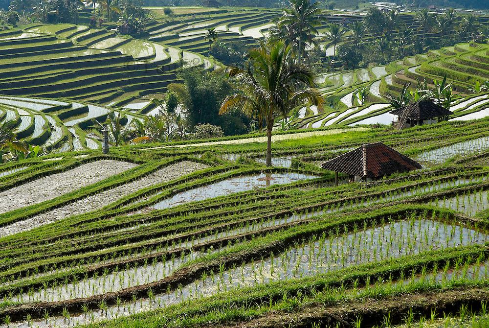 Indonesie, Ile de Bali, Rizieres dans le centre de l'Ile // Indonesia, Bali Island, rice field, centre of the island