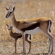 Thomson's Gazelle, (Gazella thomsonii) Newborn baby with mother. Masai Mara Game Reserve. Kenya. Africa.