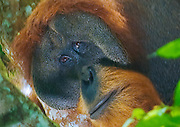 An large male Sumatra orangutan, with cheek pads, peers mournfully down from his treetop perch, Gunung Leuser National Park.