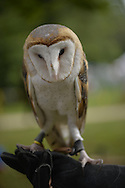 Old Westbury, New York, U.S. - August 23, 2014 - COSMO the Barn Owl (Tyto alba) is from non-profit WINORR, Wildlife in Need of Rescue and Rehabilitation, at the 54th Annual Long Island Scottish Festival and Highland Games, co-hosted by L. I. Scottish Clan MacDuff, at Old Westbury Gardens. WINORR is run by the Horvaths, licensed animal rehabilitators in North Massapequa.