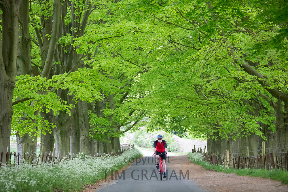 Cyclist touring the Cotswolds riding his bike along an avenue of trees in a country lane at Asthall, England