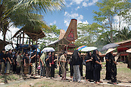 Rantepao, Tana Toraja, Sulawesi, Indonesia, October 2010. A traditional Toraja funeral takes place in the village of Paparan. When a Torajan dies in Toraja land, family members of the deceased are required to hold a series of funeral ceremonies that usually last for several days before the deceased is brought to a funeral site for burial. The family of the deceased should provide tens of buffaloes and pigs for the ceremony.The busy scene begins when funeral visitors come and crowd the buffalo-slaughtering field. A group of funeral visitors and family members of the deceased chant a 'mournful tune' known locally as ma'badong, at packed site of the buffaloes' nemesis. The deceased is not buried immediately but stored in a traditional house - or Tongkonan, as locals call it - under the same roof with his or her kin. Torajans consider the person to be merely suffering from an illness and not truly dead until the moment his funeral when the first buffalo is sacrificed; then their spirit can begin its journey to the Land of Souls. The most exciting part of the ceremony is the buffalo fights and slaughter. Family members are required to slaughter buffaloes and pigs as they believe that the spirit of the deceased will live peacefully thereafter, continuing to herd the buffaloes that have come to join him or her. Photo by Frits Meyst/Adventure4ever.com