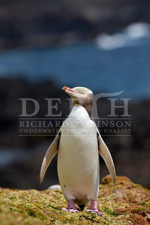 Yellow eyed penguin (Megadyptes antipodes) on  Enderby Island at subantarctic Auckland Islands in the in the Southern Ocean..Sunday 09 January 2011..Photograph Richard Robinson © 2011.