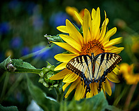 Tiger Swallowtail Butterfly on a Sunflower. Backyard summer nature in New Jersey. Image taken with a Fuji X-T2 camera and 100-400 mm OIS telephoto zoom lens (ISO 200, 400 mm, f/5.6, 1/350 sec).