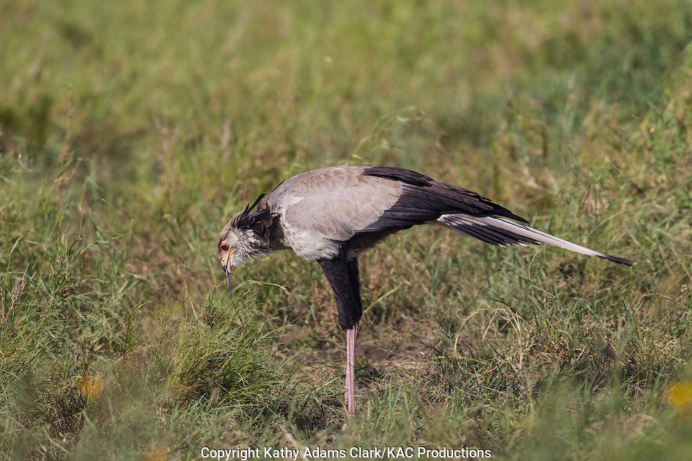 Secretary bird, Sagittarius serpentarius, Feeding on a snake, Serengeti, Tanzania, Africa.