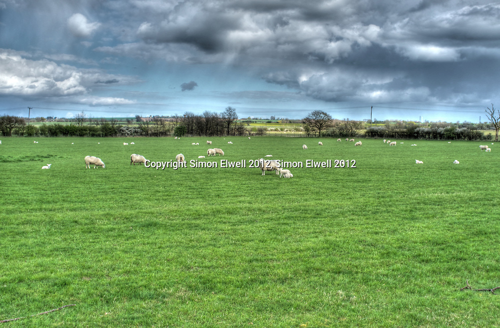 New born lambs frolick and graze in an English field in springtime  New born lambs frolick and graze in an English field in springtime