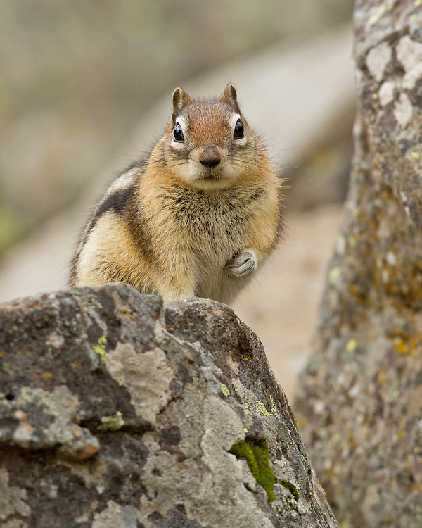 The bold and curious golden-mantled ground squirrel is often mistaken for his cousin, the chipmunk, who has similar stripes along his back. This tiny charmer can be found alongside pikas in rocky, talus slopes, where they both appear and disappear among the boulders.