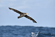 Northern Giant Petrel - Macronectes halli