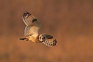 Short-eared Owls