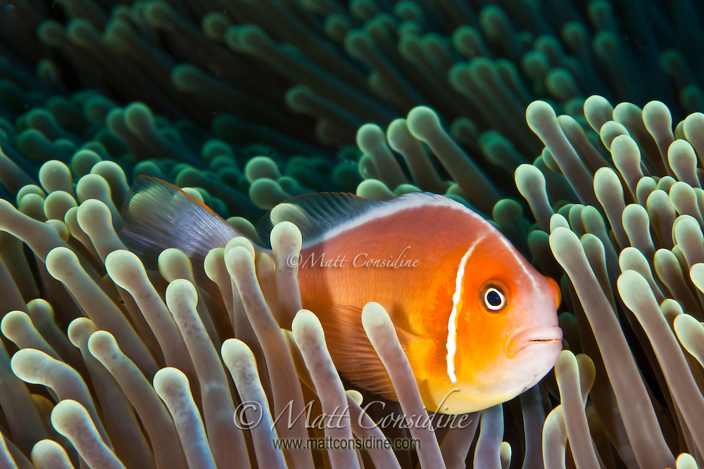 A Pink Anemonefish, immune to the stinging tentacles of the sea anemone, takes refuge from predators. (Photo by Matt Considine - Images of Asia Collection)