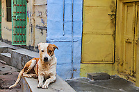 Inde, Rajasthan, Jodhpur la ville bleue, chien des rues // India, Rajasthan, Jodhpur, the blue city, dog street