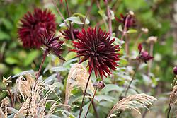 Dahlia 'Black Jack' with Panicum violaceum syn P. miliaceum Violaceum (Red Millet)