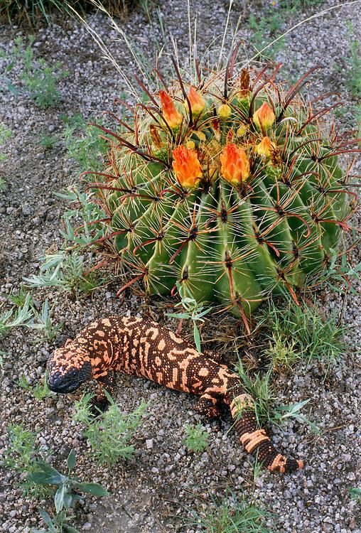 350101-1007B ~ Copyright: George H. H. Huey ~ Gila monster [Heloderma suspectum] with barrel cactus. Sonoran Desert, Arizona.