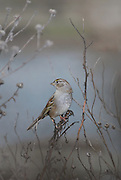 Sparrow in a misty afternoon at a Palo Alto pond.