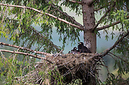 White Tailed Eagle (Haliaeetus albicilla) pair of chicks in nest in large conifer tree