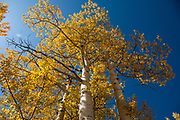 Yellow fall aspen colors at Sunshine Campground, Uncompahgre National Forest, Telluride, Colorado, USA.