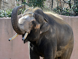 An Asian elephant enjoys the sunshine in the Hannover zoo, Germany, on March 6, 2013, March 6, 2013. Photo by Imago / i-Images...UK ONLY..Contact..Andrew Parsons: 00447545 311662.Stephen Lock: 00447860204379