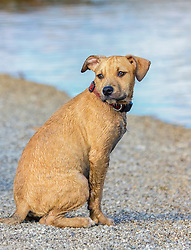 A dog waits patiently for his owner on the beach, ready for permission to jump in