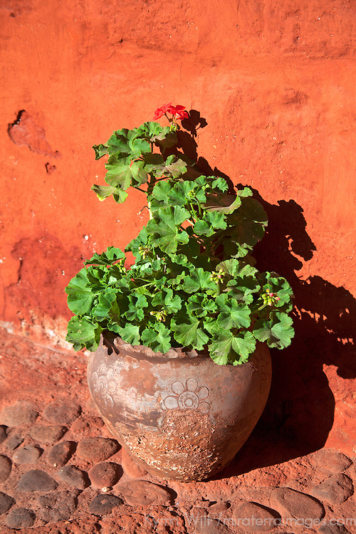 South America, Peru, Arequipa. Geraniums at Monasterio de Santa Catalina.