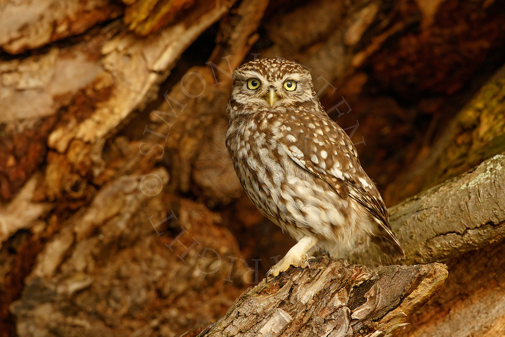 Little Owl (Athene noctua) adult, perched in dead tree, Norfolk, UK.