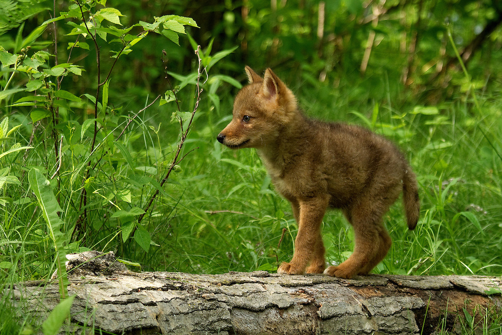 Adorable coyote pup exploring the environment.<br />