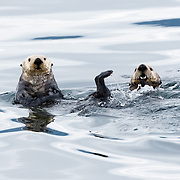 A pair of sea otters (Enhydra lutris kenyoni) swimming in the inner waterways near Juneau, Alaska