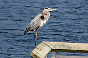 Great Blue Heron sitting on a dock, drying it's feathers at an inland lake on Jekyll Island.