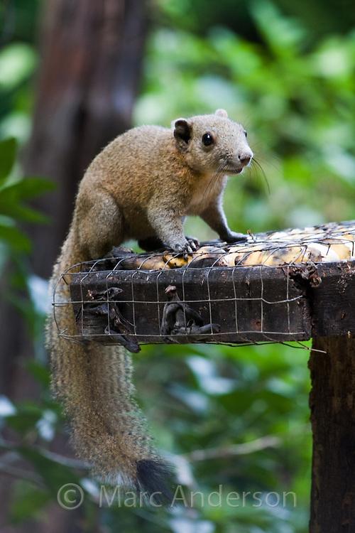 Grey-bellied Squirrel (Callosciurus caniceps), Kaeng Krachan National Park, Thailand