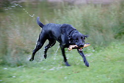 UK ENGLAND LEICESTERSHIRE NEWTOWN LINFORD 30JUN15 - A Labrador dog retrieves a stick from the river Soar at Bradgate Park in Leicestershire.<br /> <br /> jre/Photo by Jiri Rezac / WWF UK<br /> <br /> © Jiri Rezac 2015