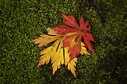 Two leaves from a fern leaf full moon maple lie in the moss at the Seattle Japanese Garden. (Bettina Hansen / The Seattle Times)
