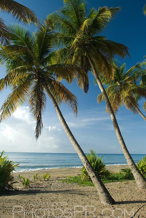 Los Bohios beach coconut palms