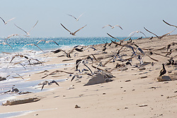 Birds in flight on the Lacepede Islands to the northwest of Broome.   The Lacepedes are an important bird breeding colony and roosting area.