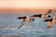 Canvasbacks, Aythya valisineria, male, Saginaw Bay, Michigan