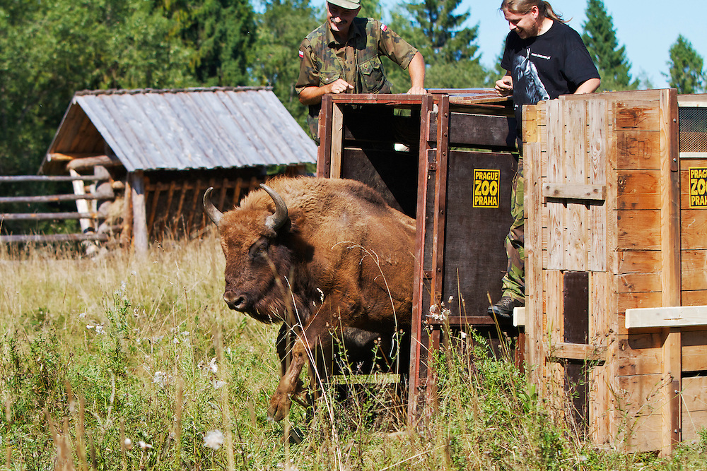 Two year-old male European Bison or Wisent (Bison bonasus) being released into an accomodation enclosure in Bieszczady National Park. The bison was donated by Prague Zoo. Bukowiec, Poland.