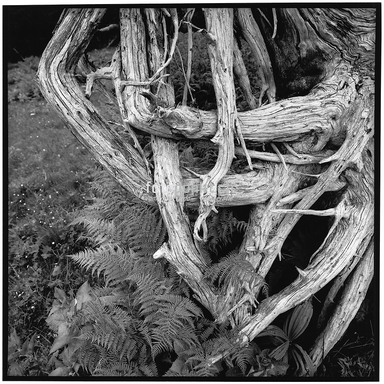 Uprooted, root of a tree dried by the sun, snow and rain, racine d'un arbre déraciné, séche par le temps, entwurzelt, Wurzel und Farn, getrocknet vom Wind und Regen