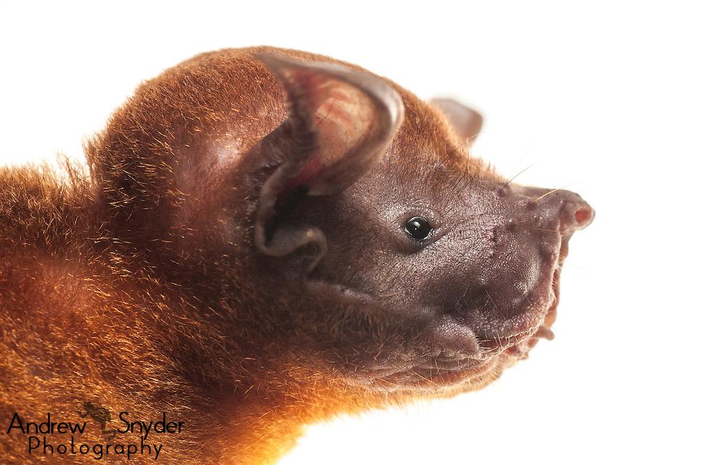 Greater bulldog bat (Noctilio leporinus) -Surama, Guyana