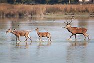 Deers in Salburua, Vitoria, Alava, Spain