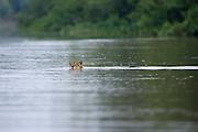 Jaguar<br /> Panthera onca<br /> Crossing river<br /> Cuiaba River, Brazil