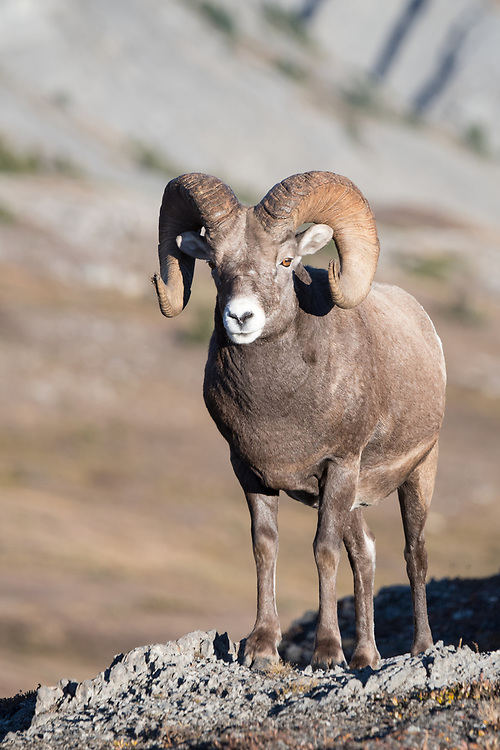 Rocky Mountain Bighorn Sheep Ram (Ovis canadensis), North America