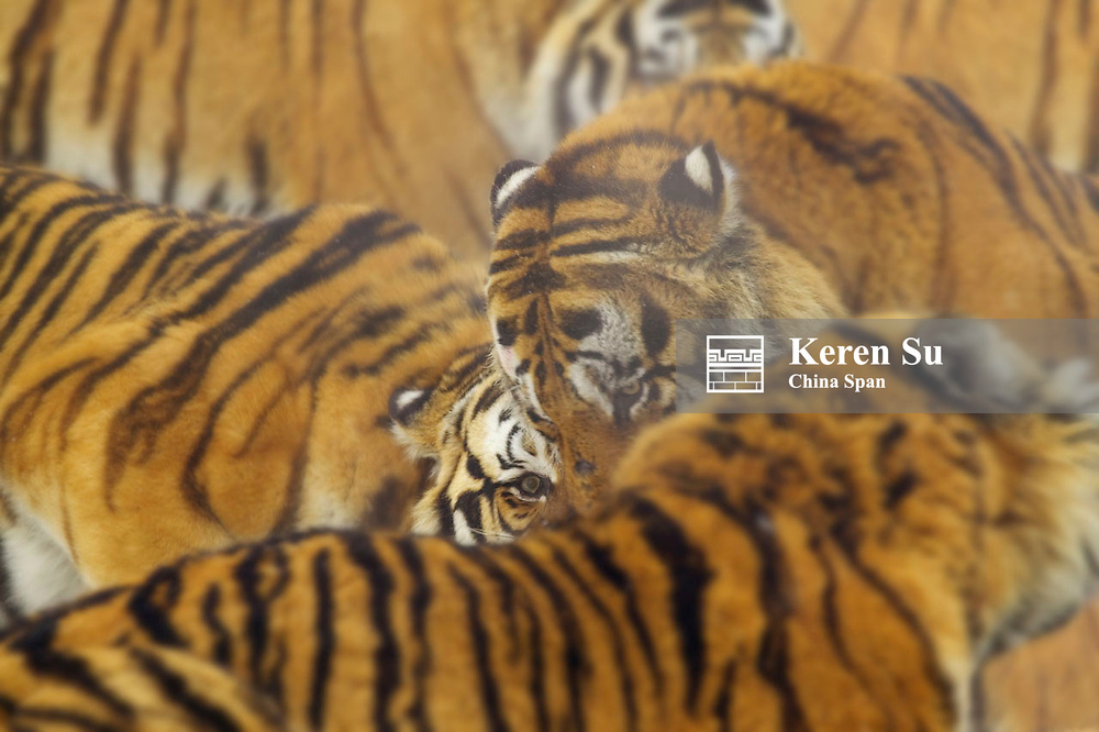 Siberian Tiger, China