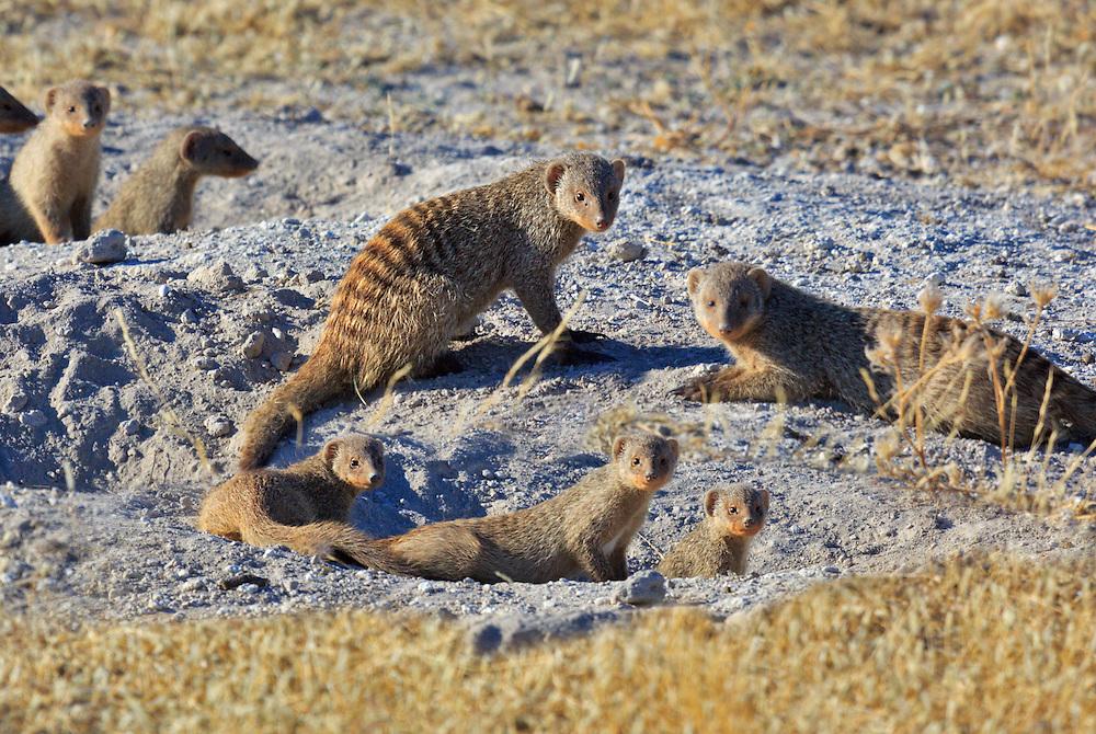 A meerkat colony.