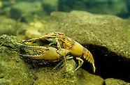 Longpincered Crayfish, Underwater