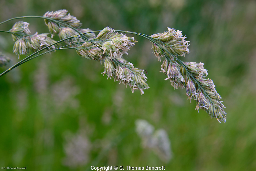 Flowers of a grass hang down from their weight in the early morning light.