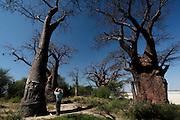 A tourist photographs Baines Baobabs, Nxai National Park, Makgadikgadi. Botswana, Southern Africa.