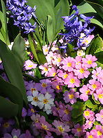 Switzerland. Springtime. A beautiful natural arrangement of hyacinths and primroses.